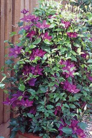 Clematis Tudor Patio Picardy
