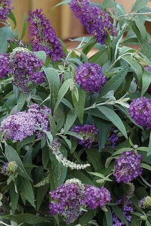 Buddleja True Blue