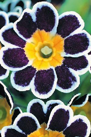 Primula Glorious Silver Laced
