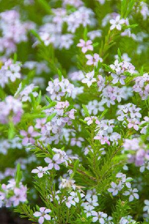 Diosma hirsuta Sunset Gold