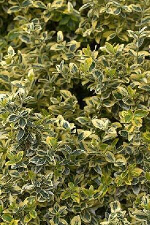 Euonymus japonica Emerald 'n' Gold