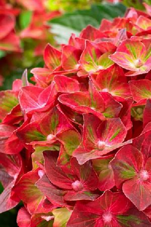 Hydrangea Magical Ruby Tuesday