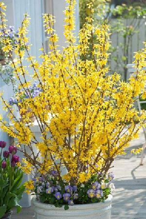 Forsythia x intermedia \'Mini Gold\' (Dwarf)
