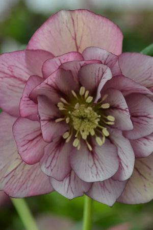 Helleborus Double Picotee Red