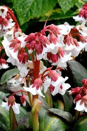 Bergenia Fire and Ice