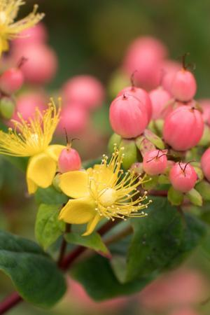 Hypericum Magical Innocence