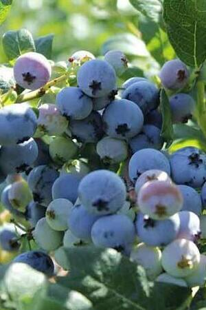 Vaccinium corymbosum (Mixed collection)
