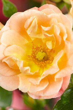 Rosa Peach/Apricot Drift