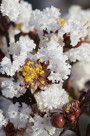 Lagerstroemia Pure White