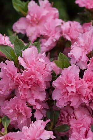 Azalea BloomChampion Double Pink