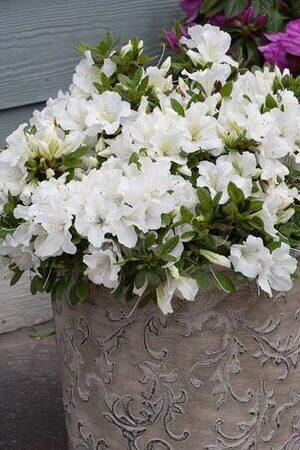 Azalea BloomChampion White