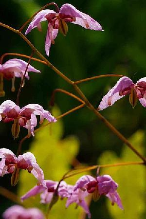 Epimedium hybridum Enchantress