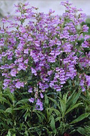 Penstemon Glaber