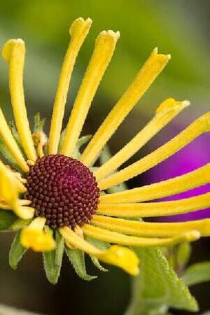 Rudbeckia Little Henry