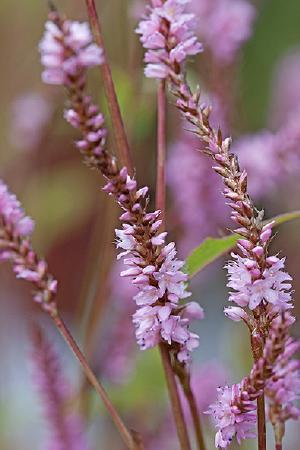 Persicaria Collection