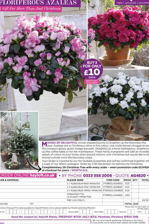 Bush Azaleas In White Tedi Pots