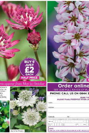 Francoa sonchifolia \'Pink Bouquet\'