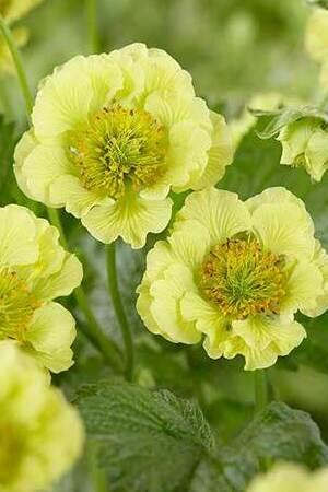 Graceful Geum Collection