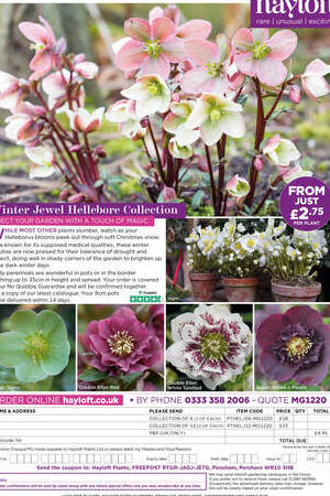 Winter Jewel Helleborus  Collection