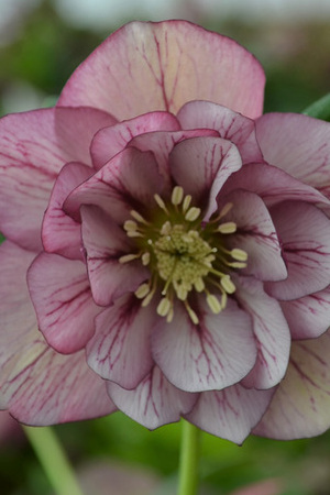 Helleborus Frosted Angels collection