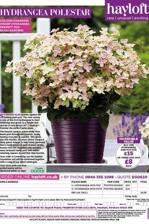 Hydrangea Polestar with Purple Tedi Pot