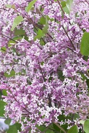 Syringa Flowerfesta Purple
