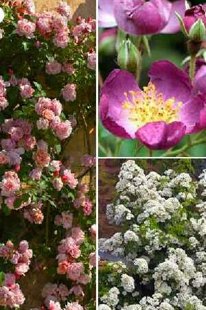 Rampant Rambling Rose Collection