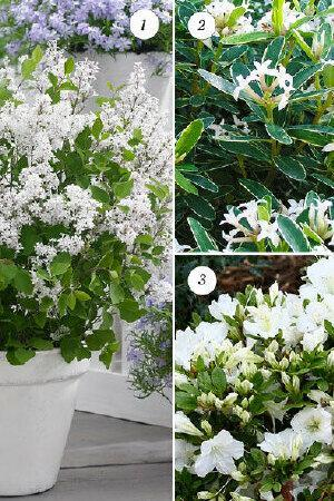 Blooming Lovely Shrub Collection