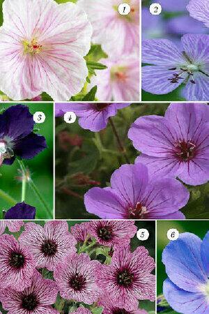 Hardy Geranium Mixed Collection