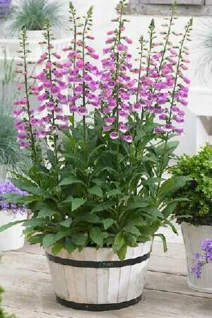 Digitalis Lucas