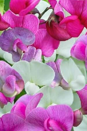 Lathyrus The Pearl Collection