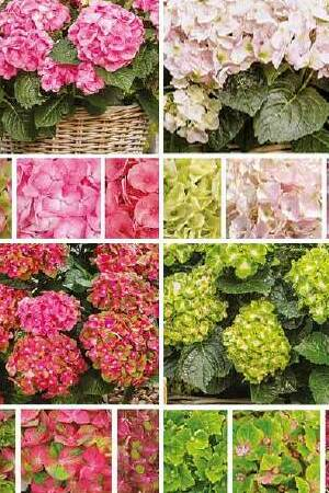 Hydrangea Rembrandt® Collection