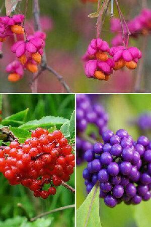 Berry Beautiful Shrub Collection