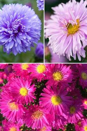 Astonishing Aster Collection
