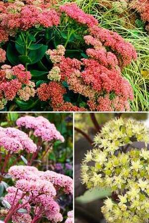 Spectacular Sedum Collection