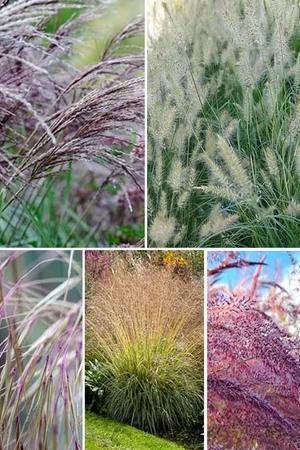 Glorious Grasses + FREE ALLIUM COLLECTION