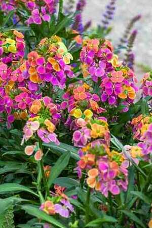 Wallflower Harlequin Mix