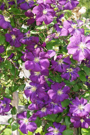 Captivating Clematis Collection