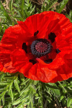 Papaver orientalis Collection