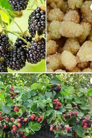3 FREE BLACKBERRY PLANTS FOR EVERY READER