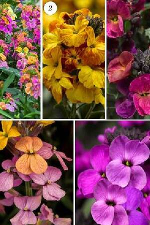 Erysimum Erysistible Collection