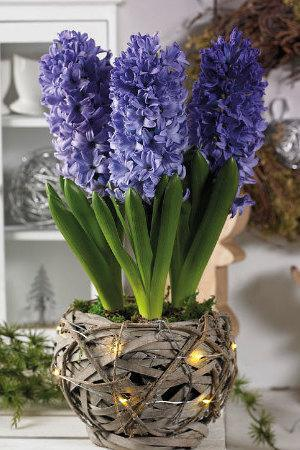 Rustic Basket with Lights and Blue Hyacinths
