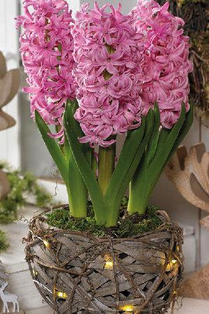 Rustic Basket with Lights and Pink Hyacinths