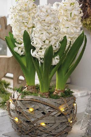 Rustic Basket with Lights and White Hyacinths
