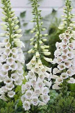 Digitalis purpurea Alba