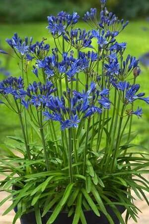 Agapanthus Summer Love Blue New