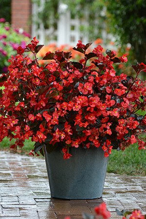 Begonia Megawatt Red Bronze Leaf