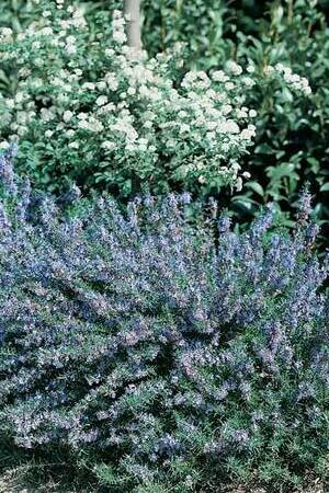 Rosmarinus officinalis Miss Jessops