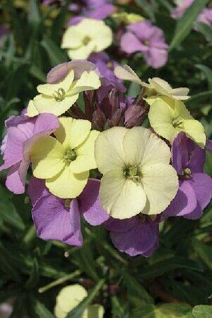 Erysimum Plant World Lemon