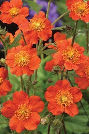 Geum Orange Queen